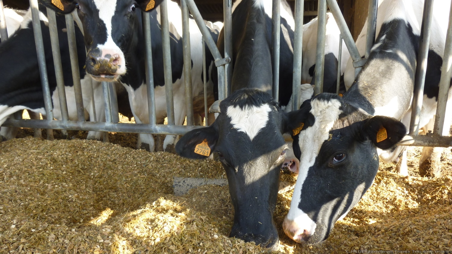 5658-Vaches-laitieres